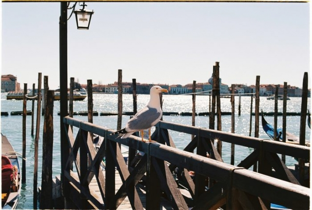 Venice port gull - Kodak portra